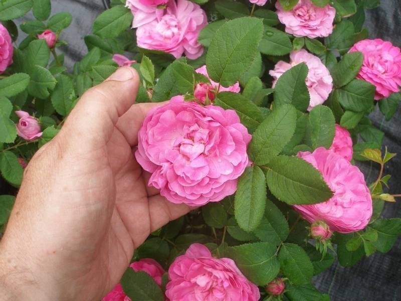 Weleda Wild Rose Hudolje 100 ml